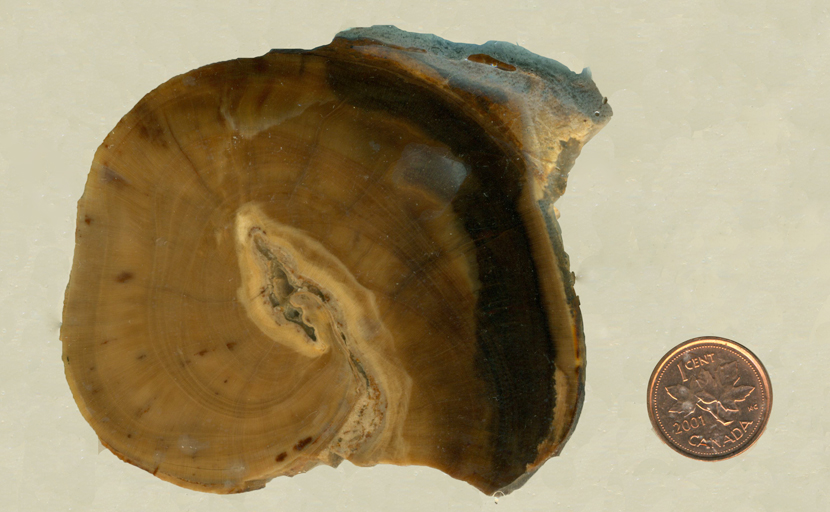 Spiral-patterned brown section of petrified wood from the Columbia River.
